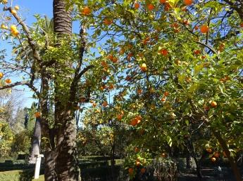 冬天才見果實的橘園,可觀不可食 (太酸)