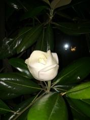 夜間收起花瓣,身影像鬱金香,像白玫瑰