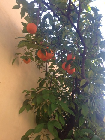 冬日的苦橘倚牆展魅力