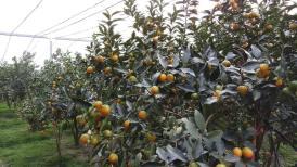 楊家的金桔園:一株結果 800 粒