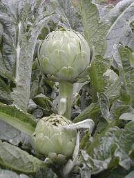 阿根廷的 小高卓(gauchito) 菜薊 品種