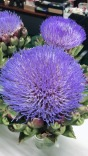廖總珍藏的開花朝鮮薊