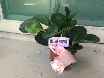 圓葉椒草初來一個月